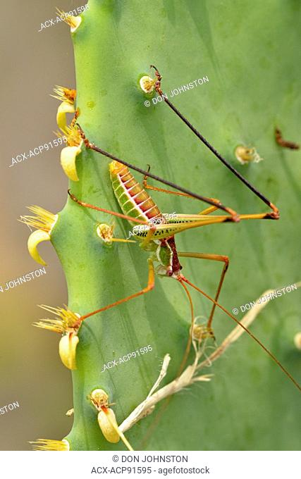 Katydid (Dichopetala catinata) on prickly pear cactus pad, Rio Grande City, Texas, USA