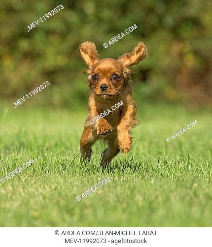 Cavalier King Charles Spaniel puppy outdoors Cavalier King Charles Spaniel puppy outdoors