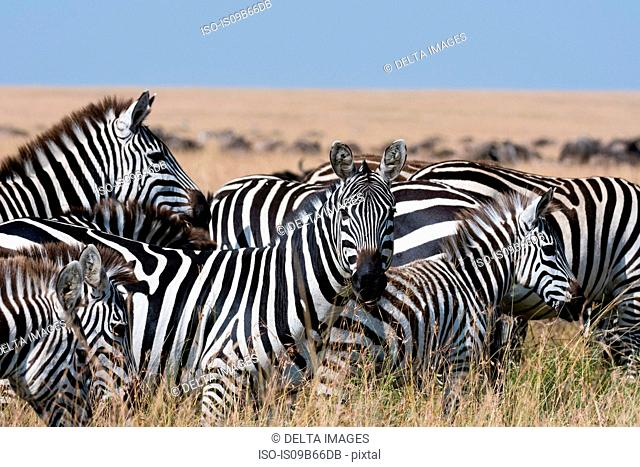 Group of Grant's zebras (Equus quagga boehmi), Masai Mara National Reserve, Kenya, Africa