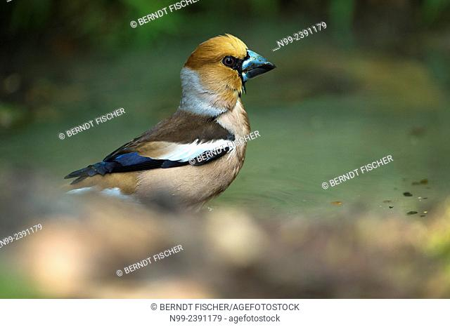 Hawfinch (Coccothraustes coccothraustes), at small water pond in forest, Bavaria, Germany
