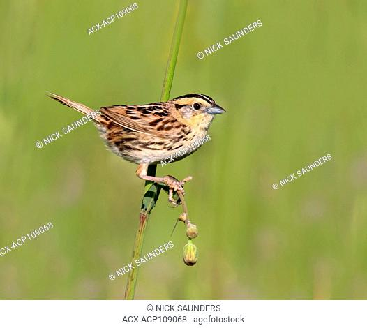 A Le Conte's Sparrow, Toxostoma lecontei, perches in the grass in a Saskatoon field, in Saskatchewan, Canada
