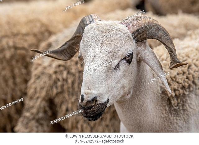Sheep for sale at Market -Guelmim, Guelmim province, Morocco