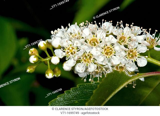 Wild Black Cherry Prunus serotina Flower