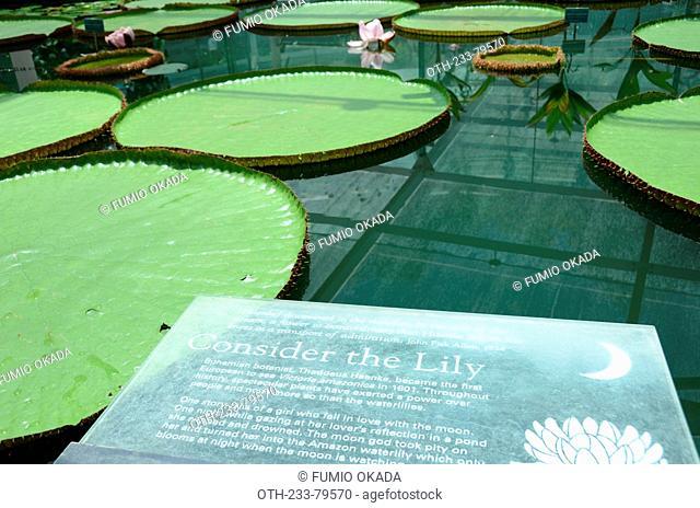 Victoria amazonica waterlily at Amazon waterlily pavilion, Botanic garden, Adelaide, South Australia
