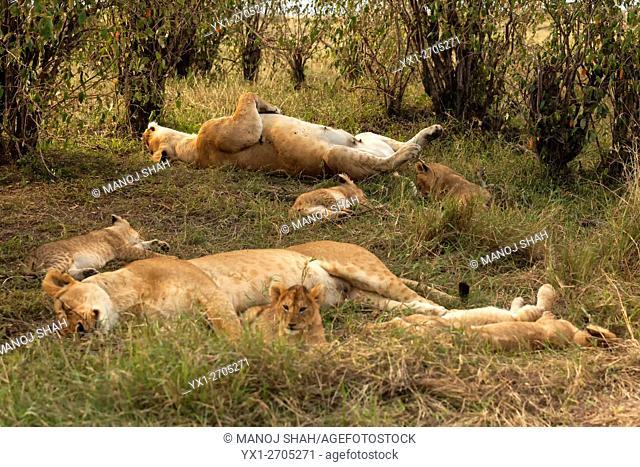 Lion Pride sleeping