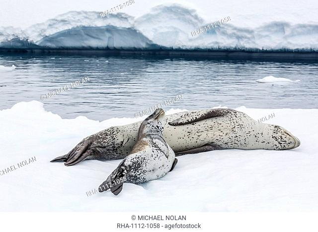 Leopard seal (Hydrurga leptonyx) mother and pup, Petermann Island, Antarctica, Southern Ocean, Polar Regions