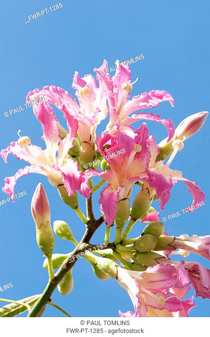 Silk Floss tree, Ceiba speciosa, Several pink tinged white flowers with prominent stigmas. Against blue sky