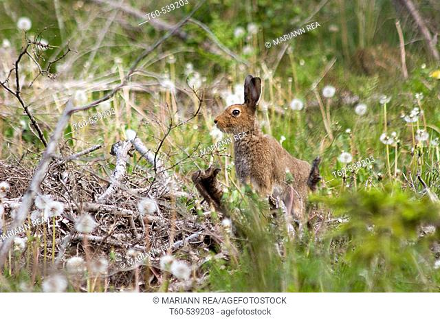 Hare in the forest of Saaremaa, the biggest island in Estonia
