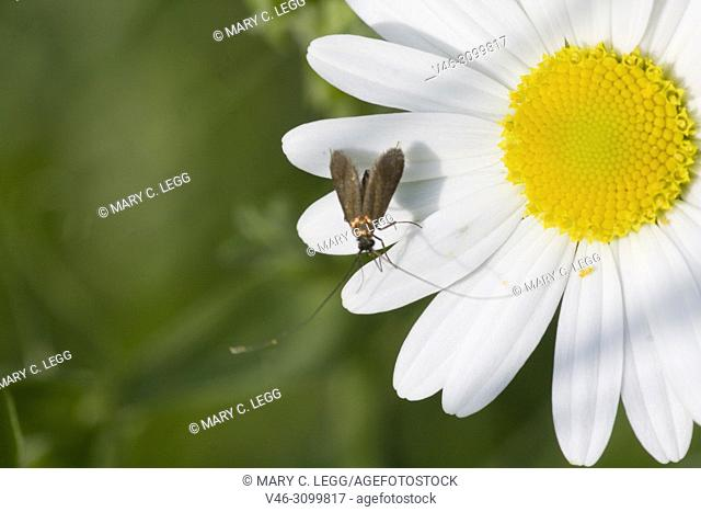 Brassy Longhorn, Nemophora metallica on a daisy Wingspan 15-20 mm. Day-flier. Male antennae 3x length of the forewings. Flies June through July