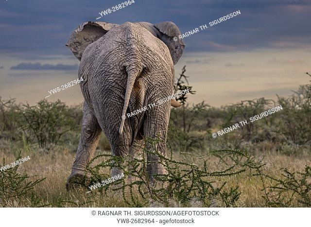 Elephant, Etosha National Park, Namibia, Africa