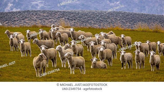 Farm sheep look curiously at me in rural Colorado. U.S.A