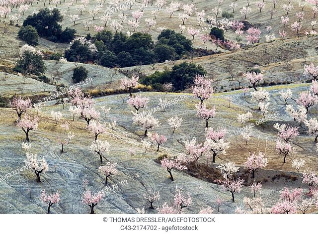 Cultivated almond trees (Prunus dulcis) in full blossom in February. Almería province, Andalusia, Spain