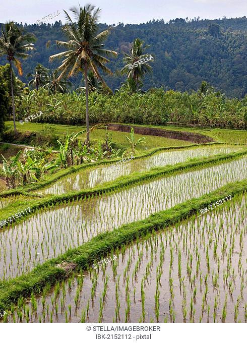Rice fields near Banjar, North Bali, Bali, Indonesia, Southeast Asia, Asia