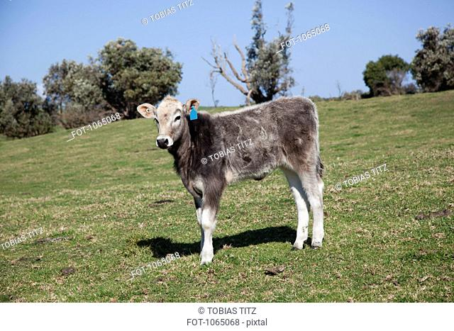 A calf in a field