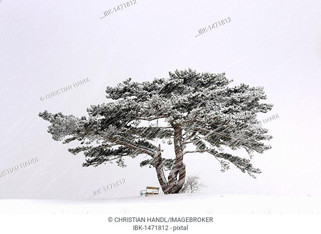 European Black Pine (Pinus nigra) in a snowstorm, Lower Austria, Austria, Europe