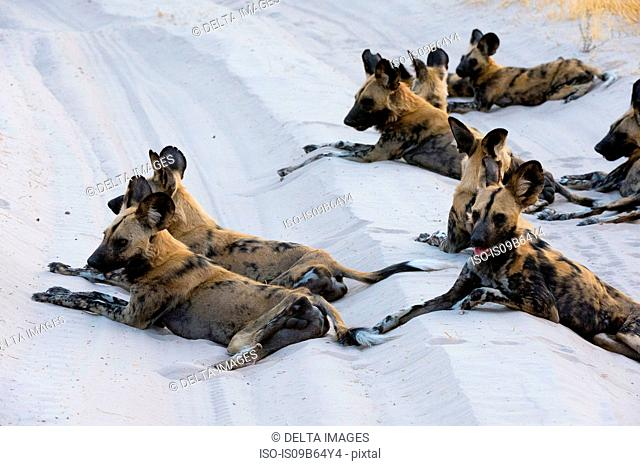 Group of African wild dogs (Lycaon pictus), Savuti, Chobe National Park, Botswana, Africa