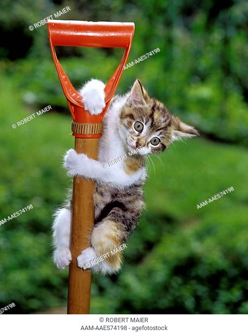 Kitten climbing on, hanging on to, spade handle 'Hard garden work'