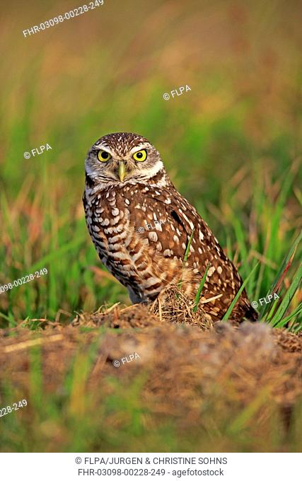 Burrowing Owl (Speotyto cunicularia) adult, standing near burrow entrance, Cape Coral, Florida, U.S.A., March