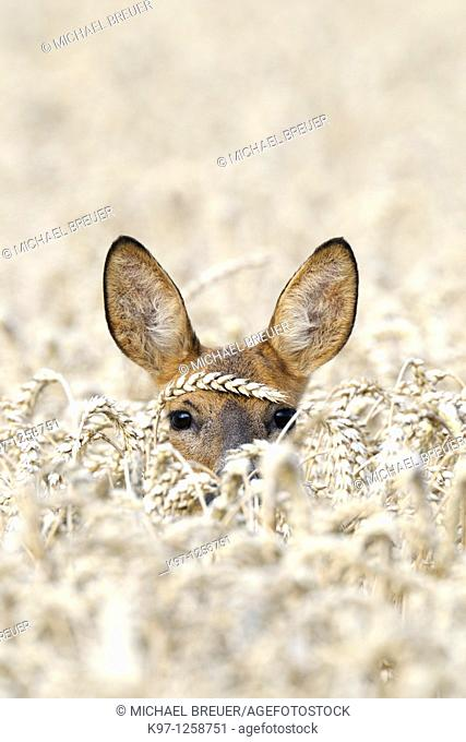 Roe deer (Capreolus capreolus) in grain field, Summer, Germany, Europe