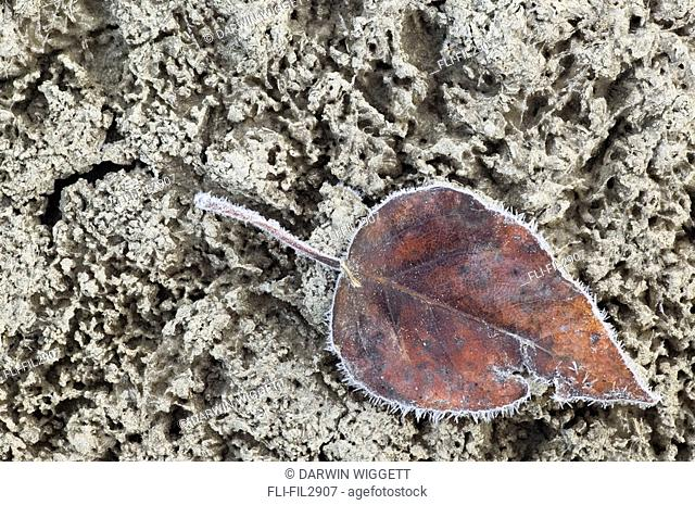 Leaf on frozen mud, Athabasca River, Jasper National Park, Alberta Canada