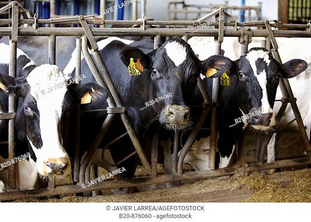 Dairy cows in farm, Azpeitia, Gipuzkoa, Basque Country, Spain