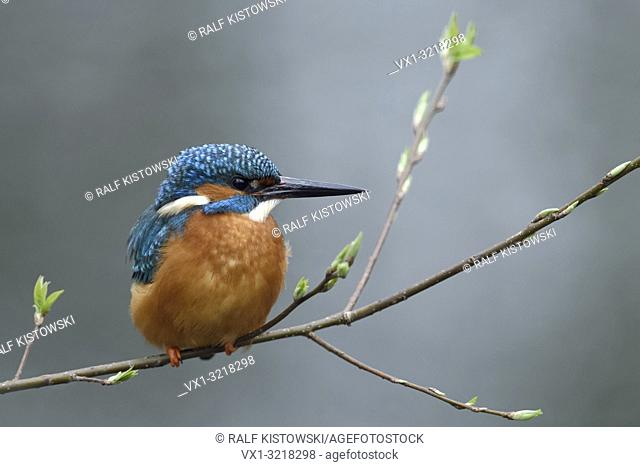 Eurasian Kingfisher ( Alcedo atthis ), male, resting, perched on a natural branch with fresh green, break of spring, wildlife, Europe