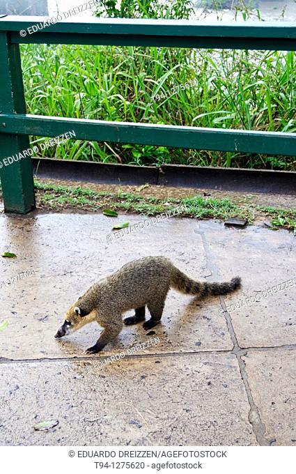 Coati, Iguacu National Park, Brazil
