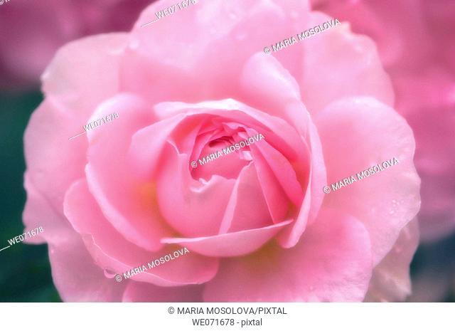 Pink Rose. Rosa hybrid. June 2005, Maryland, USA