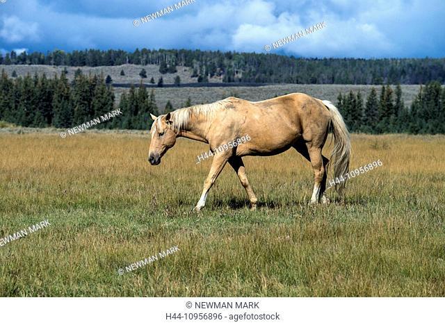 Horse, horses, Grand Teton, National Park, Wyoming, USA, United States, America, free, animal, landscape, prairie