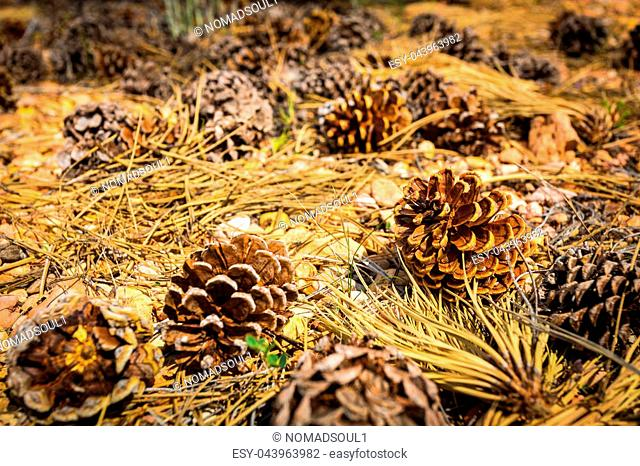 Pine cones on the ground. Fallen cones with dry needles on forest ground