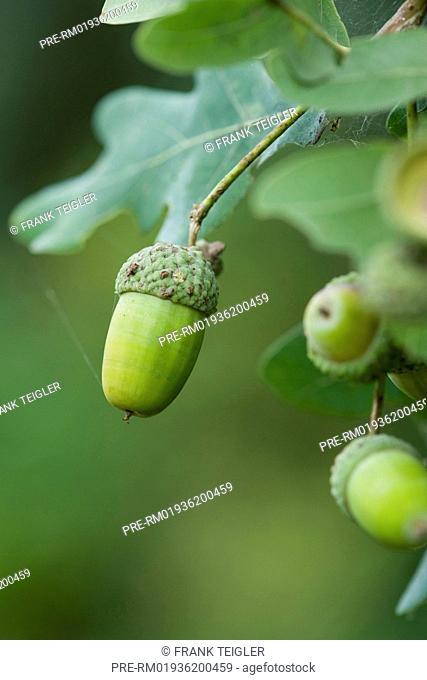 Common Oak, Quercus robur / Stieleiche, Quercus robur
