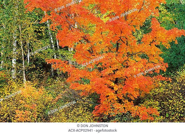 Birch and maples in autumn colors, espanola ontario, canada