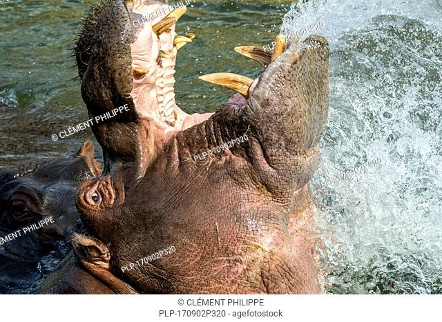 Common hippopotamus / hippo (Hippopotamus amphibius) in lake showing huge teeth and large canine tusks in wide open mouth