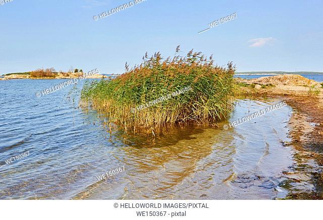 Reeds growing in Baltic Sea on island of Uto, Stockholm archipelago, Sweden, Scandinavia