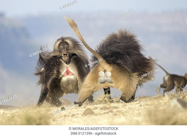 Africa, Ethiopia, Rift Valley, Debre Libanos, Gelada or Gelada baboon (Theropithecus gelada), fight between two males