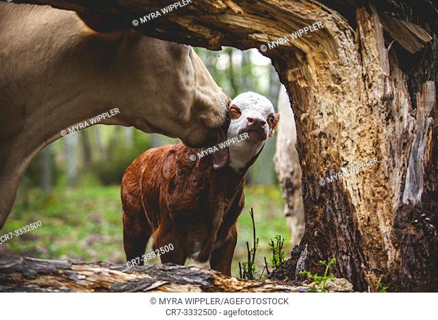 Female cow licking her calf next to a tree