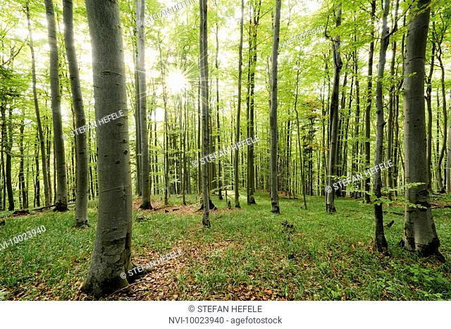 Beech forest, Carpathian Mountains, Slovakia, Europe