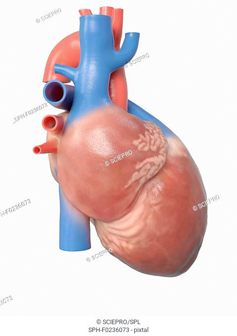 Illustration of the human heart anatomy