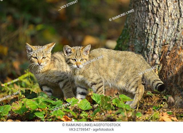 Wildcat, Felis silvestris, two Kittens, Germany