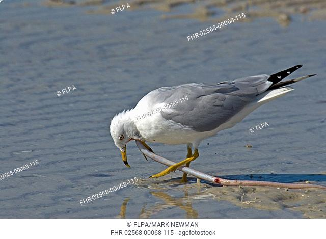 Ring-billed Gull Larus delawarensis adult, summer plumage, feeding on pipefish, Gulf Coast, Florida, U S A