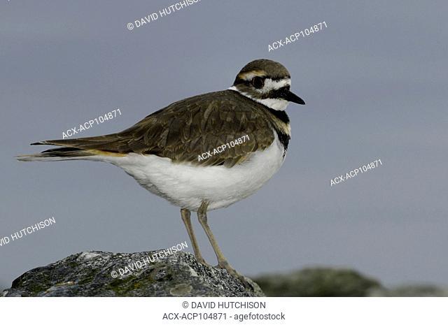 Kill deer (Charadrius vociferus) Shola Barbour Bird Sanctuary, Sidney, BC Canada