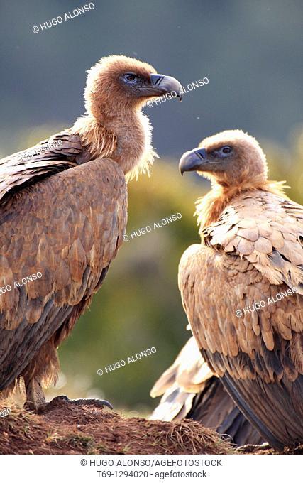 Griffon Vultures (Gyps fulvus)