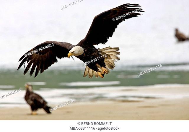 North America, the USA, Alaska, Kodiak Iceland, american eagle, Haliaeetus leucocephalus