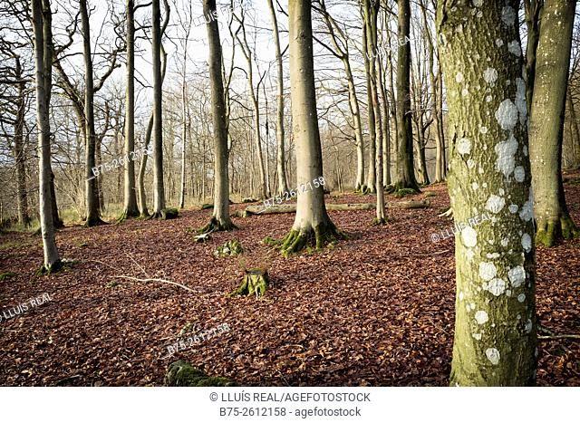 Close-up in a forest of tree trunks with fallen leaves. Grassington, North Yorkshire, Yorkshire Dales, England, UK, Europe
