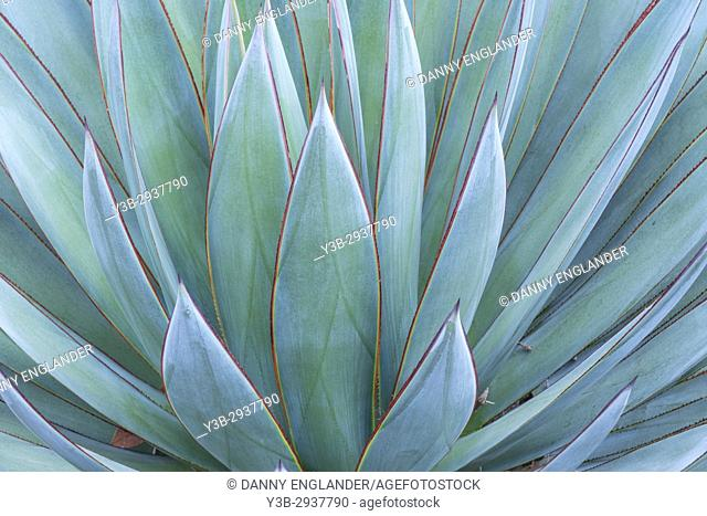 Closeup of a green Agave plant