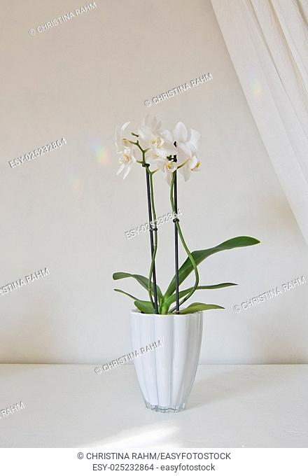White orchid flowers in pot with white linen drape against white wall
