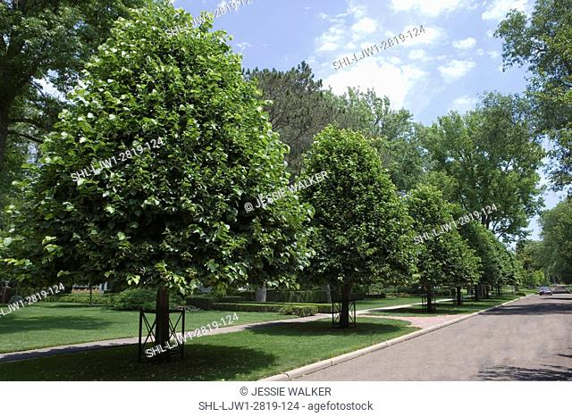 GARDEN: Row of shaped Linden trees along roadside in front of a traditional home, symmetric, road to right lawn and front yard to left