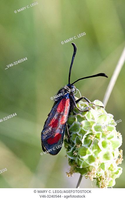 Slender Scotch Burnet, Zygaena loti. Blackish moth with red spots. Wingspan 25-35mm. Flight: June-August. Day-flying moth that inhabits dry scrubland