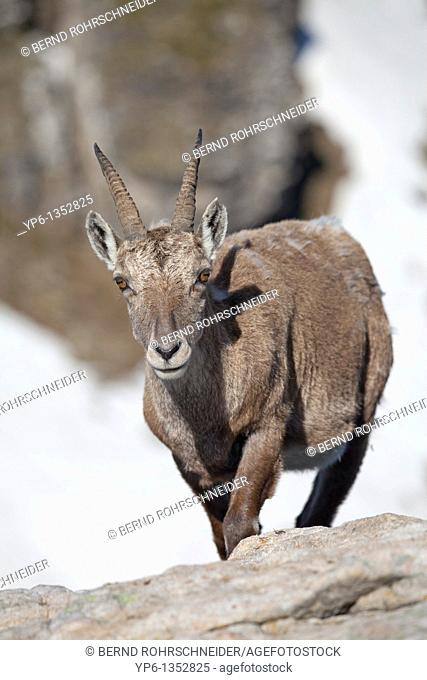 female Alpine Ibex Capra ibex standing on rock, Niederhorn, Bernese Oberland, Switzerland