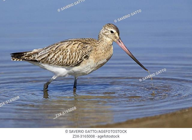Bar-tailed Godwit (Limosa lapponica), feeding in the water, Liwa, Al Batinah, Oman